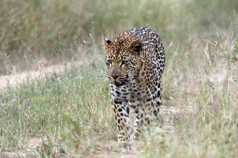 Die Magie des Leoparden