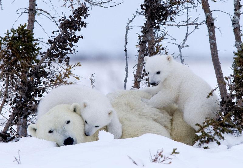 Das Abenteuer der Eisbärenkinder