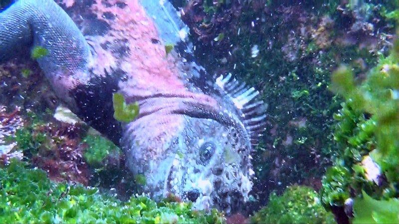 Die Drachen von Galapagos - Meerechsen