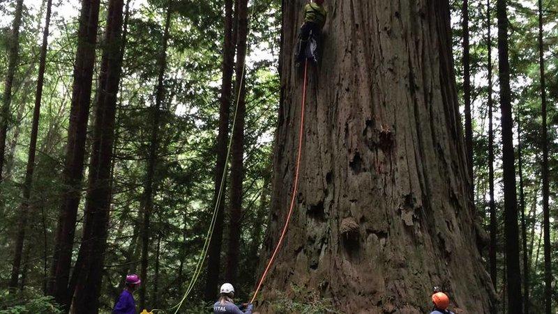 Die Baumkletterer von Kalifornien