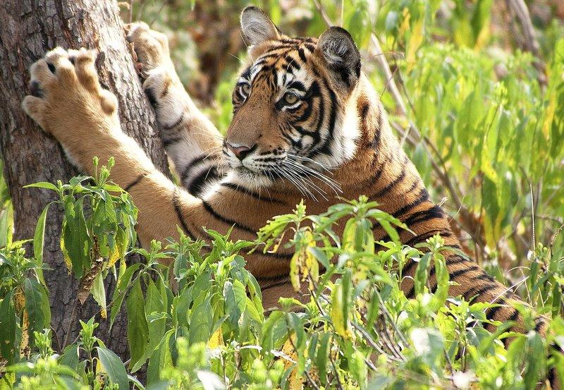 Königstiger - Kampf ums Überleben