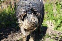 Mangalitza-Schwein