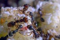 Ameisen stürzen sich auf Essensreste, die der Mensch achtlos fallen lässt.