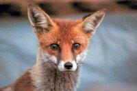Weil es ihm in der Natur an Lebensraum fehlt, hat sich der Fuchs als Müllverwerter an das Leben in der Stadt angepasst.