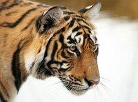 Die Nachfrage nach Tigerprodukten ist seit Ende der achtziger Jahre stark gestiegen. Um Tiger zu schützen, müssen Wilderei und vor allem die Armut am Rande der Tigerreservate bekämpft werden. Ranthambhore Nationalpark in Rajasthan, Indien.
