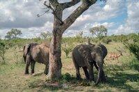 Afrikanische Elefanten sind die größten lebenden Landsäugetiere der Erde.