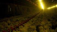 In den USA stammt das konsumierte Fleisch zu 99 Prozent aus Massentierhaltung.