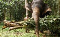 Der Elefant Vishunathan bringt sein Futter selbst.