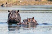 Die Flusspferde nutzen das Wasser als Zuflucht in Gefahrensituationen.