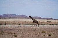 Selbst im wüstenhaften Kaokoveld im Nordwesten Namibias finden Giraffen ihr Auskommen.