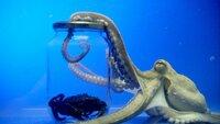 """Universum: """"Oktopusse - Genies aus der Tiefsee"""", Ein ungewöhnliches Augenpaar, ein knochenloser Körper und acht Arme bewegen sich geschmeidig zu Wasser und zu Land. Die Kraken, auch als Oktopusse bekannt, haben bereits seit der Antike einen prominenten Platz - heute bemüht sich die Wissenschaft, den hohen Intelligenzgrad dieser Tiere zu erforschen. Statt einem Gehirn, haben sie neun, passen sich in Sekundenschnelle ihrer Umgebung an und verfügen über ein ausgezeichnetes Erinnerungsvermögen. Ist ihr IQ höher als der der Schimpansen? Ein Film von Jérome Julienne und John Jackson.  SENDUNG: 3sat - MI - 02.12.2020 - 15:30 UHR. - Veroeffentlichung fuer Pressezwecke honorarfrei ausschliesslich im Zusammenhang mit oben genannter Sendung oder Veranstaltung des ORF bei Urhebernennung."""