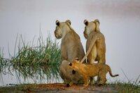 Während das Löwenjunge mit Spielen beschäftigt ist, haben seine Mütter, die Löwinnen Lebone und Bolelo, seine Geschwister fest im Blick: Sie müssen den Fluss alleine und ohne Hilfe durchqueren.
