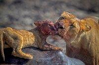 Nach einer dramatischen Flussdurchquerung wird das verletzte Löwenjunge von seiner Mutter in Empfang genommen.