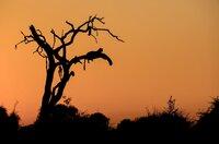 Leoparden ruhen im Abendrot auf den Ästen eines abgestorbenen Ahnenbaums.