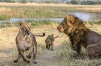 In Selinda, einer Region im Norden Botsuanas, schienen Löwen fast ausgerottet. Erst das totale Jagdverbot vor einigen Jahren scheint nun zur Erholung der Population beizutragen.