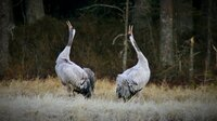 Zwei balzende Kraniche im Matsalu Nationalpark in Estland am Rande der Ostsee. Die Gegend ist weithin bekannt als Vogelparadies und als eine der wichtigsten Raststätten auf dem Ostatlantischen Vogelzugweg.
