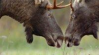 Zwei junge Elchbullen beschnuppern sich. Im Herbst müssen sie sich den vertrackten Schwierigkeiten der Brautwerbung stellen. Die Elchbullen müssen sich nicht nur mit ihren Rivalen messen, sondern auch die Elchkühe beeindrucken.