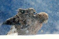 Für junge Steinadler ist der erste Winter ohne ihre Eltern schwer zu meistern.