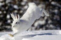 Der Schneehase genießt die Sonnenstrahlen
