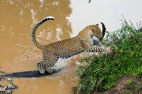 Im Masai-Mara-Reservat in Kenia leben die meisten Leoparden in den Galeriewäldern entlang der kleinen Flüsse und Bäche.
