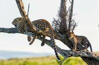 Eine Leopardenmutter mit ihrem drei Monate alten Jungen: Leoparden bringen sich vor Konkurrenten oft auf Bäumen in Sicherheit, da Löwen und Hyänen schlechte Kletterer sind.