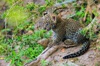 Ein rund ein Monat altes Leopardenjunges: Die Jungen werden in den ersten Wochen gut versteckt und manchmal tagelang allein gelassen, wenn die Mutter auf Jagd ist.