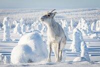 Ailo wächst auf der abenteuerlichen Reise durch die raue Wildnis Lapplands allmählich zu einem großen Rentier heran. Doch der Weg durch die Kälte der majestätischen Tundra ist beschwerlich.