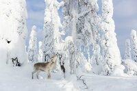 Ailo sucht inmitten der eisigen Tundra nach Nahrung. Doch die karge Landschaft hat kaum etwas Essbares zu bieten.