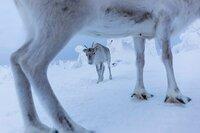 Obwohl Ailo bereits zu einem Jungtier herangewachsen ist, sucht er auf der beschwerlichen Reise durch die eisige Tundra stets die Nähe zu seiner Mutter.