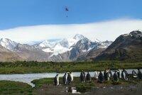 South Georgia Island, Neugierige Königspinguine beobachten den Helikopter der Rattenjäger, der Köder ausstreut. Diese sind aber für die Pinguine ungefährlich.