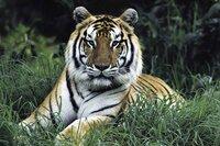 Bengal tiger (PANTHERA TIGRIS) portrait.