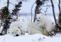 Wie alle Jungtiere sind auch Eisbären-Babys sehr verspielt.