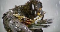 Keas sind die einzigen Papageien, die auch in Eis und Schnee leben.  Die Verwendung des sendungsbezogenen Materials ist nur mit dem Hinweis und Verlinkung auf TVNOW gestattet.; Keas sind die einzigen Papageien, die auch in Eis und Schnee leben.  Die Verwendung des sendungsbezogenen Materials ist nur mit dem Hinweis und Verlinkung auf TVNOW gestattet.