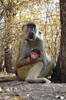 Eine Pavianmutter mit ihrem Baby beim beobachten der Gruppe.