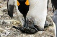 Rund um Weihnachten schlüpfen auf der Insel Südgeorgien die Königspinguine. Die ersten Wochen ruhen sie auf den Füßen der Eltern.