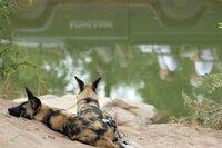 Afrikanische Wildhunde.
