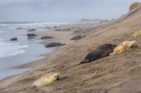 Jeden Winter kommen Tausende Kegelrobbenweibchen nach Sable Island.