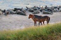 Die Atlantikinsel Sable Island ist berühmt für ihre Wildpferde. Was viele nicht wissen: Hier befindet sich auch die größte Kegelrobbenkolonie der Welt.