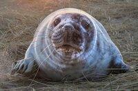 Ein Kegelrobbenjungtier auf Sable Island