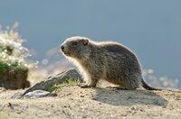 Im Frühling bringen Murmeltiere ihre Jungen zu Welt: Sie finden während des Sommers Nahrung in Form von Kräutern und Blumen auf den Bergwiesen.