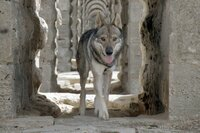 Ein Wolfhund in einem römischen Aquädukt im Belgrader Wald