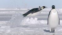 Wenn alle anderen Pinguine die Antarktis verlassen haben, treffen die Kaiserpinguine ein.