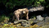 Grizzlybär.