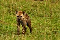 Eine kleine Hyäne auf Entdeckungsreise im Grasland – Sie wird fast vier Jahre lang von der Mutter abhängig bleiben.