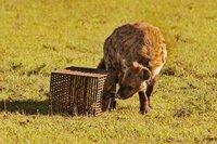 Eine Hyäne namens Gumbie nähert sich dem verschlossenen Käfig, in dem ein Stück Ziegenfleisch liegt.