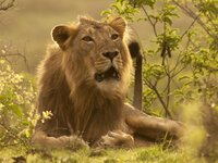 An Asiatic Lion laying in the grass.