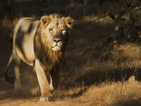 An Asiatic lion walking in the sunlight and shadows.