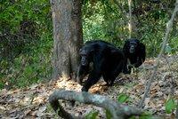 Schimpansen, Mahale Nationalpark.