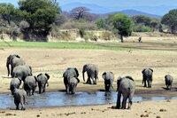 Elefanten, Ruaha.