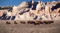 Bisons vor der Landschaft der Badlands